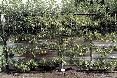 ESPALIER. Is it possible to espalier certain varieties of pear or apple trees? YES, just not in Texas. ~ Great tips on landscaping on this website:  The Seasoned Homemaker: How to Landscape  - Austin, TX