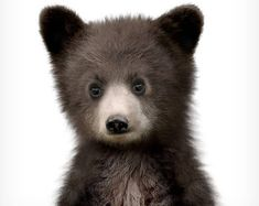 Baby bear print, Nursery animal art, Woodland Nursery prints, The Crown Prints, Baby animals, Nursery art, Baby animal wall art, Black bear