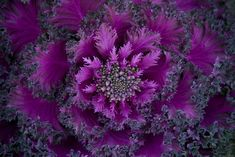 Geometry in Nature: Purple Leafed Fractal | http://list25.com/25-examples-of-perfect-geometry-found-in-nature/2/