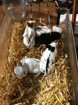 dwarf x rabbit kits for sale £20 - £20 each - Listed by Sell it socially         has been published on Sell it Socially