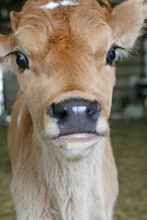 I don't know if I could actually go vegan or vegetarian. but with how much of an animal lover I am I really want to try. Or at least look into a more humane way of getting meat Vegan Animals, Farm Animals, Animals And Pets, Cute Animals, Wild Animals, Vegan Memes, Vegan Quotes, Vegan Facts, Cane Corso
