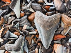 Venice Beach - Shark teeth can be found in sandy creek bottoms and riverbeds and in coastal areas around Florida.