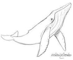 Humpback Whale sketch by marciolcastro Whale Sketch, Whale Drawing, Bird Line Drawing, Animal Sketches, Animal Drawings, Drawing Sketches, Drawing Animals, Sketching, Tattoo Drawings