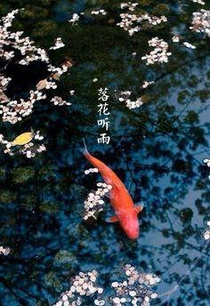 Koi and Cherry Blossoms, Japan Koi Fish Pond, Fish Ponds, Coy Pond, Betta, Koi Art, Japanese Koi, 3d Painting, Nature Aesthetic, Beautiful Fish