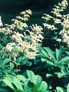 11 Striking Bog Plants on HGTV Rodgersia - Ideal growing conditions: full sun to dappled shade. Mature height: 3 feet Credit: DK - How to Grow Practically Everything © 2010 Dorling Kindersley Limited