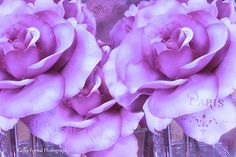 Lavender Roses Flower Photography, Paris Purple Roses, Shabby Chic Lavender Roses, Baby Girl Nursery Decor, Lavender Purple Roses Photograph
