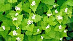 arlic mustard plants may sound delicious, but they can wreak havoc on your landscaping.