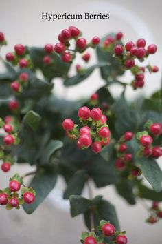 hypericum berries - colors available: pale yellow, light green, light pink, coral, and red