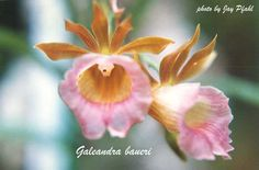 Galeandra baueri