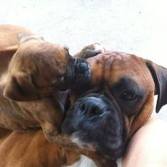 Boxer love, Boba's giving his big brother Jango some love Boxer Bulldog, Boxer Puppies, Dogs And Puppies, Boxer And Baby, Boxer Love, Dog Rules, Puppy Mills, Puppys, Fennel