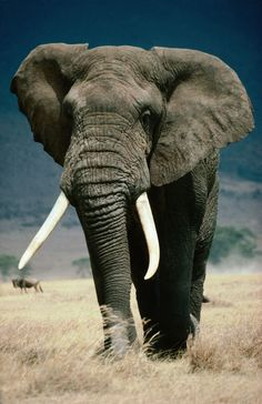 "♂ Wildlife photography #animal #elephant ""Tanzania, Arusha, Ngorongoro Conservation Area, East Africa"" by Lonely Planet Images"