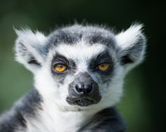 ⭐The look this LEMUR is giving....priceless!⭐
