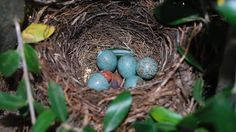 i-rena: ....κοτσύφι βγαίνει από το αυγό του σε μια....