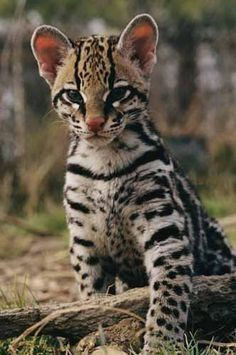 Ocelot kit...such a pretty baby