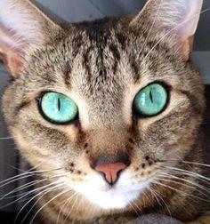 Mira los ojos azul verdoso de este gato. Increíbles. | 21 Hermosos gatos que tienen ojos más bonitos que tú