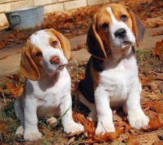 Famous beagle head tilt! SO adorable!