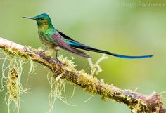 Long-tailed Sylph - Ecuador Hummingbirds