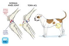 Knee ligaments: Cranial Cruciate Ligament Medical Diagram - what G...