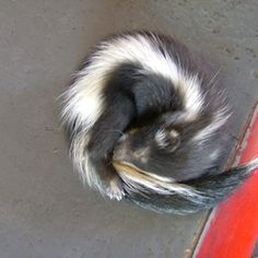A baby skunk Beautiful Creatures, Animals Beautiful, Baby Skunks, All Things Wild, Future Farms, Shirt Hair, Cute Baby Animals, Spirit Animal, Mammals