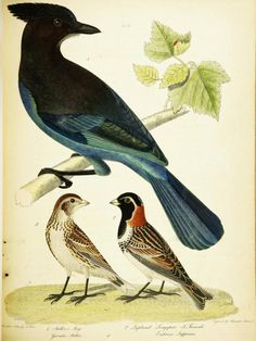 American ornithology, or, The natural history of birds inhabiting the United States, not given by Wilson: with figures drawn, engraved and coloured from nature / by Charles Lucian Bonaparte.   Bonaparte, Charles Lucian Wilson, Alexander, Published: Philadelphia : S.A. Mitchell, 1825-1833
