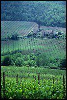 Vineyard in the Chianti region. Tuscany, Italy