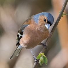 Visit our new-look Galleries to view and search images of thousands of bird species, and join our worldwide community of bird photographers Pretty Birds, Beautiful Birds, Animals Beautiful, Cute Animals, Chaffinch, Boat Art, Bullfinch, Little Birds, Colorful Birds