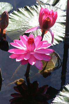 Lotus Flower in Longwood Gardens, Kennett Square, PA.