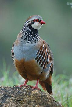 Perdiz roja(Alectoris rufa). Es un ave de lafamilia Phasianidaeautóctona deEuropa sudoccidental.