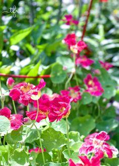 nasturnium used as companion plant (to veggie garden)