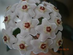 kwiaty hoii