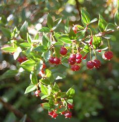 "Ugni molinae ""Chilean Guava"" - Buy Online at Annie's Annuals & Perennials"