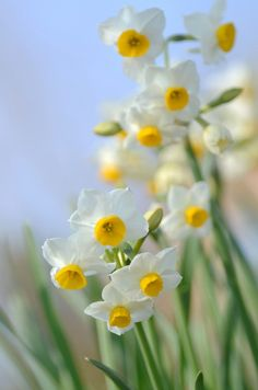 kevään airueet, narsissit