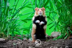 Křeček v přírodě, Francie Common hamster (Cricetus cricetus) standing, Alsace, France Images, Fox, Photos, Animals, Outdoor, Poster Poster, Posters, Pictures, Animales