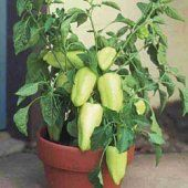Grow some TV paprika (sweet gypsy peppers)