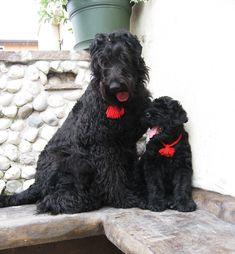 Black Russian Terrier, Terriers, Terrier