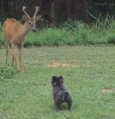 Horned doggo does pupper a heckin big concern.