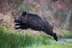 A wild boar--the distraction that Circe used to lure Picus. The attempt failed, however Wild Boar Hunting, Hog Hunting, Animals And Pets, Cute Animals, Animal Help, Wild Creatures, Wildlife Art, Animal Drawings, Animal Photography