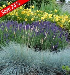 Lavender Hidcote, Happy Returns Daylily, & Festuca Boulder Blue - easy to grow, drought proof perennials