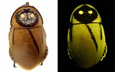 """""""Oh great...glowing cockroaches. The Lucihormetic luckae is a super rare cockroach that can produce light using bioluminescence. The insect's exoskeleton contains glowy bacteria-filled reservoirs. These two resevoirs make it appear like the bugs are equipped with a set of headlights! Oh yes — because the sounds of them skuttering around at night isn't enough, they have to have HEADLIGHTS to illuminate the room. You know, just to remind me that they're there.""""  from incrediblethings.com"""