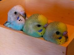 Baby budgies in a box.