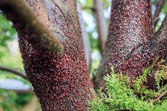 Ploštička lipová – nový obyvateľ lipy malolistej. Je to škodca alebo neškodný hmyz? - Záhrada.sk