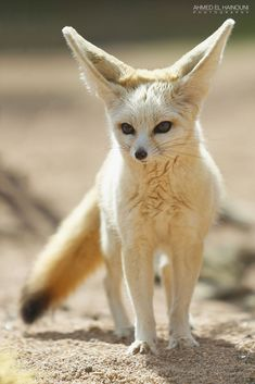 Fennec Fox by Ahmed El Hainouni on 500px