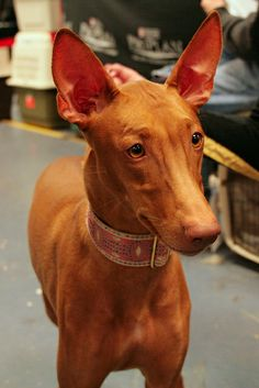 pharaoh hound photo   Recent Photos The Commons Getty Collection Galleries World Map App ...