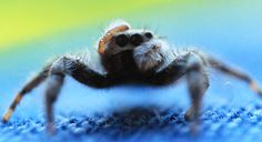 They have super suave moments that hypnotize you.   These Spiders Will Cure Your Arachnophobia With Their Cuteness