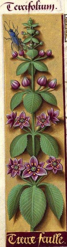 Tierce feulle - Tercifolium (Plante fantaisiste?, indéterminable) -- Grandes Heures d'Anne de Bretagne, BNF, Ms Latin 9474, 1503-1508, f°73v