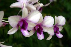Orqídea. Jardín Botánico en Singapur - Ociogo