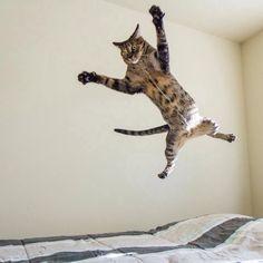 Attack cat!