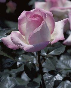 JP: Princesse de Monaco (Grace Kelly) -Tea Roses DELICAT Y LOVELY ROSE **+