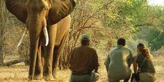 Elephant encounter on foot in Mana Pools courtesy Stretch Ferreira Victoria Falls, Canoe, Safari, National Parks, Places To Visit, Wildlife, Elephant, Pools, Animals