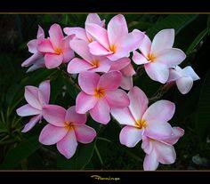 Florida Flowers - The Plumeria Flamingo by mad plumerian, via Flickr